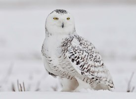 Nice wallpapers Snowy Owl 275x200px
