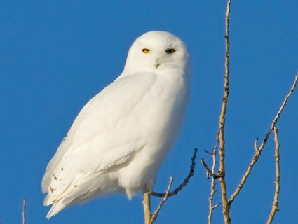 Images of Snowy Owl | 425x320