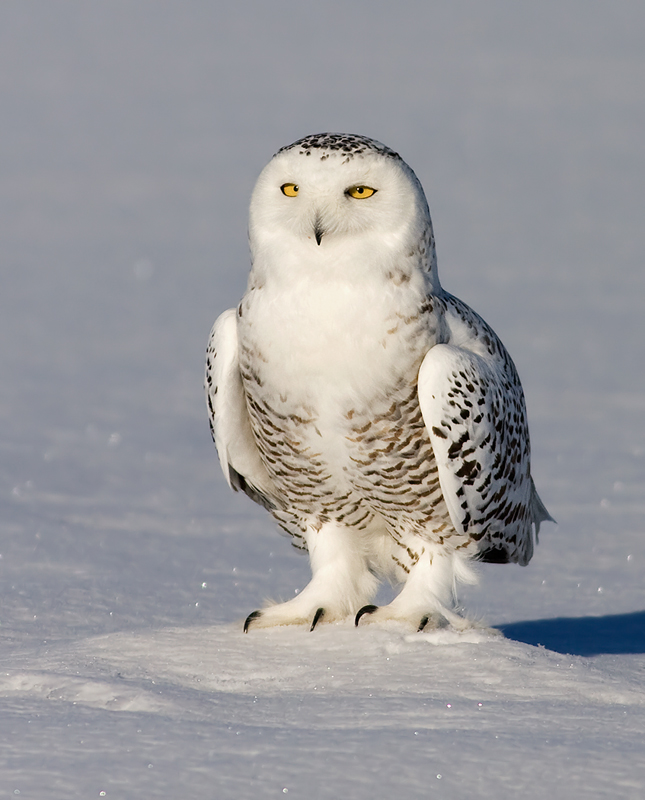 Snowy Owl High Quality Background on Wallpapers Vista