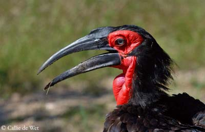 Southern Ground Hornbill Backgrounds on Wallpapers Vista