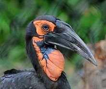 Southern Ground Hornbill Backgrounds, Compatible - PC, Mobile, Gadgets| 220x185 px