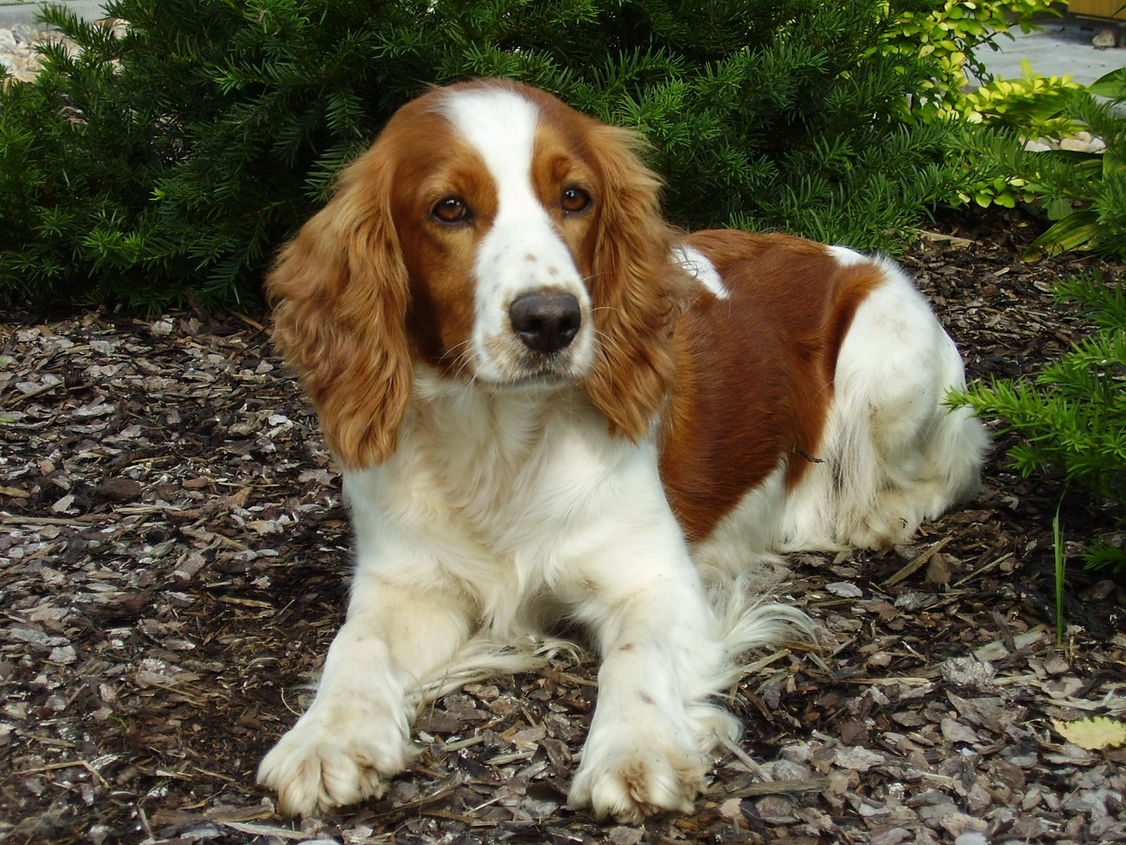 Spaniel Backgrounds on Wallpapers Vista