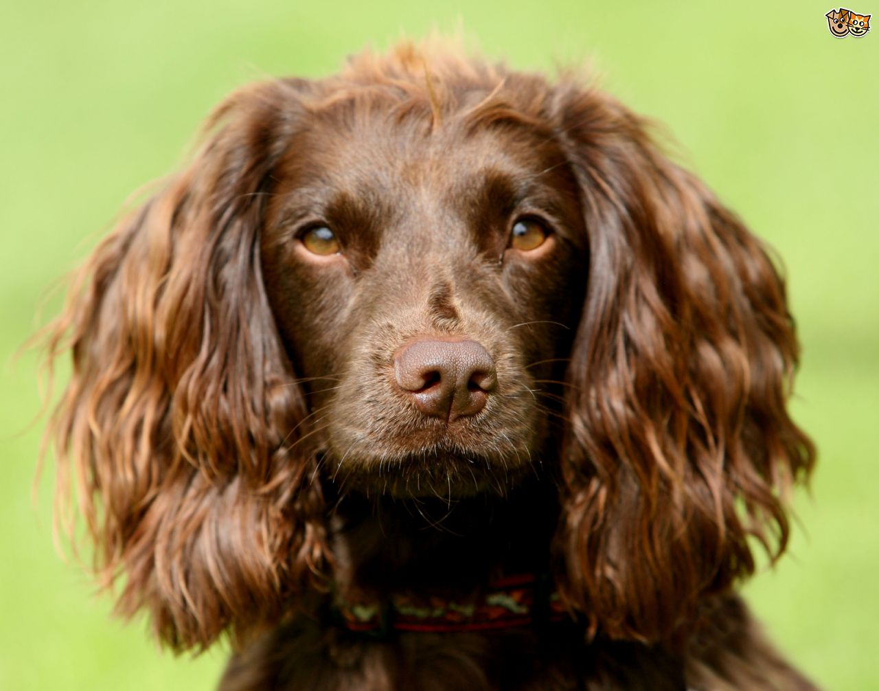Spaniel High Quality Background on Wallpapers Vista