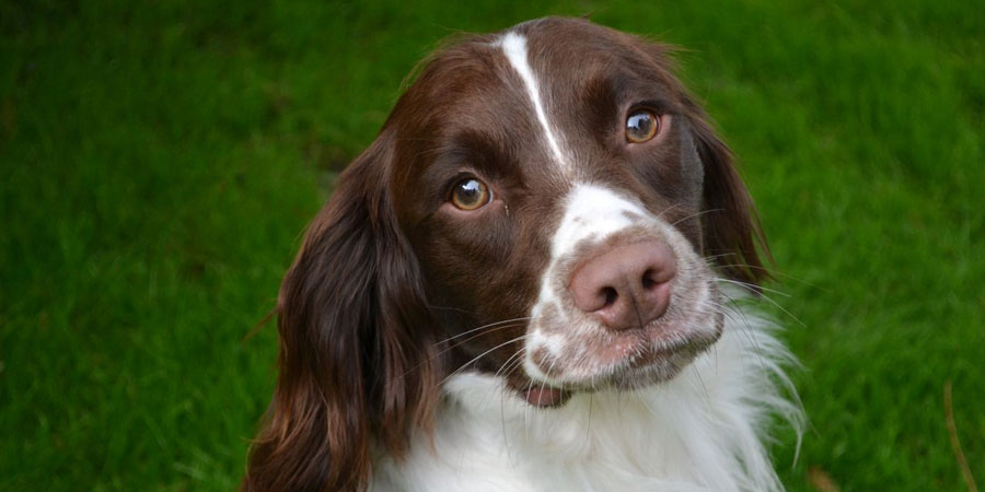 Nice Images Collection: Spaniel Desktop Wallpapers