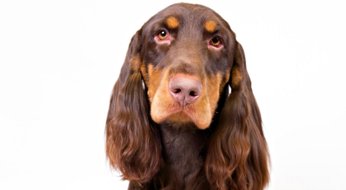 HD Quality Wallpaper | Collection: Animal, 1216x668 Spaniel