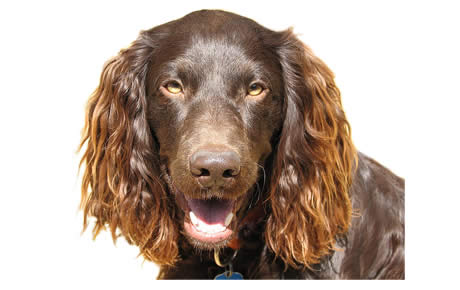 HD Quality Wallpaper | Collection: Animal, 460x290 Spaniel