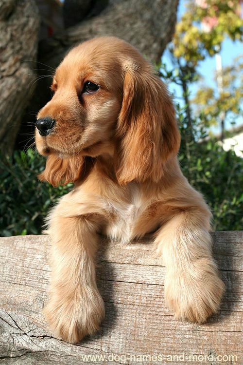 HD Quality Wallpaper | Collection: Animal, 500x749 Spaniel
