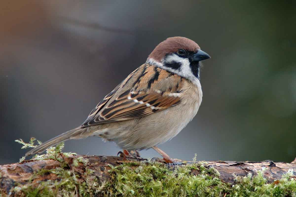 HD Quality Wallpaper | Collection: Animal, 1200x798 Sparrow