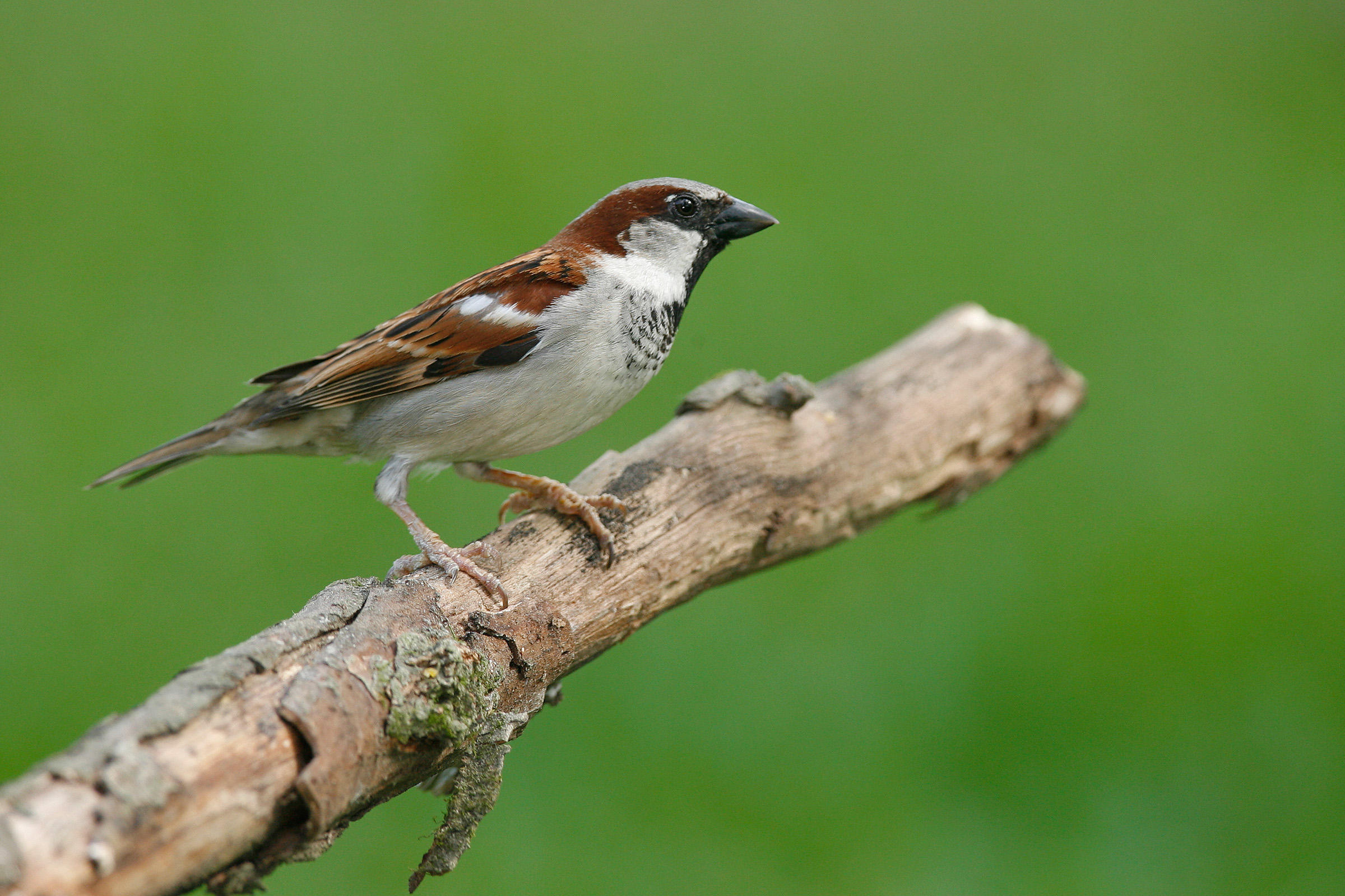 Nice Images Collection: Sparrow Desktop Wallpapers