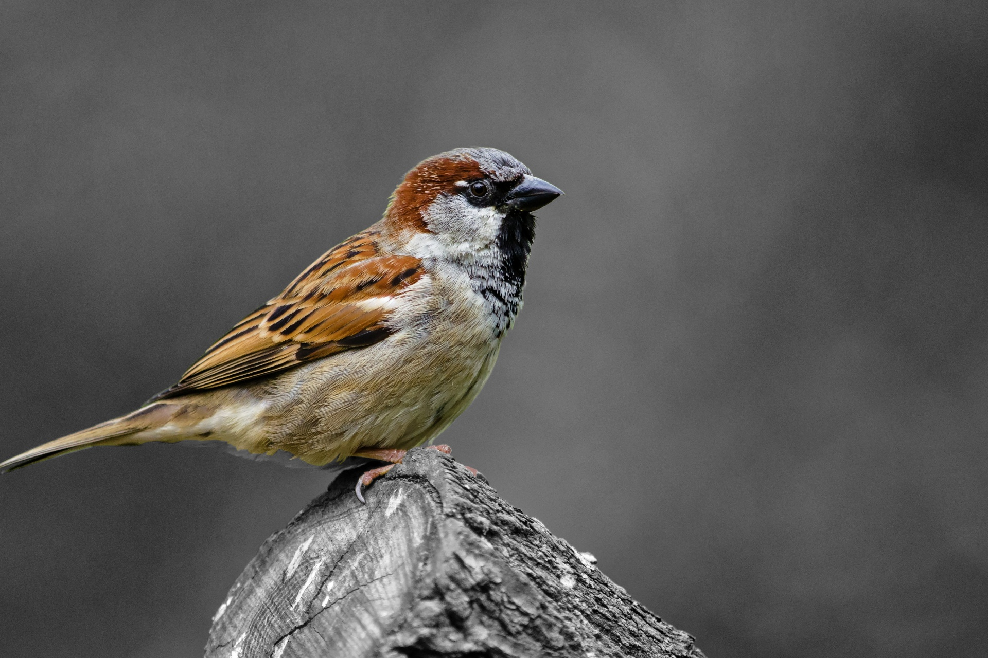 Sparrow High Quality Background on Wallpapers Vista