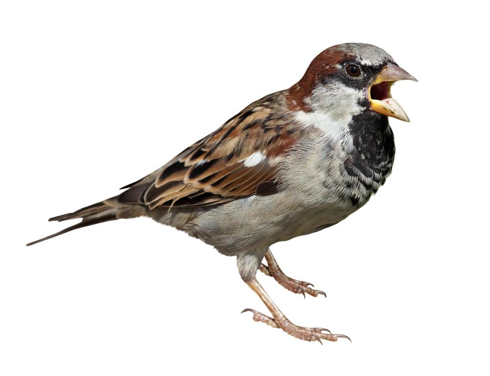 Sparrow Backgrounds, Compatible - PC, Mobile, Gadgets| 1000x767 px