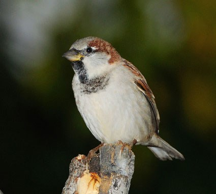 HD Quality Wallpaper | Collection: Animal, 425x381 Sparrow