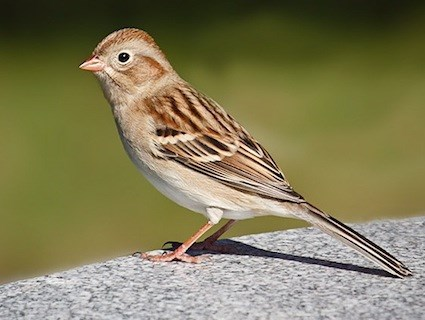 Amazing Sparrow Pictures & Backgrounds