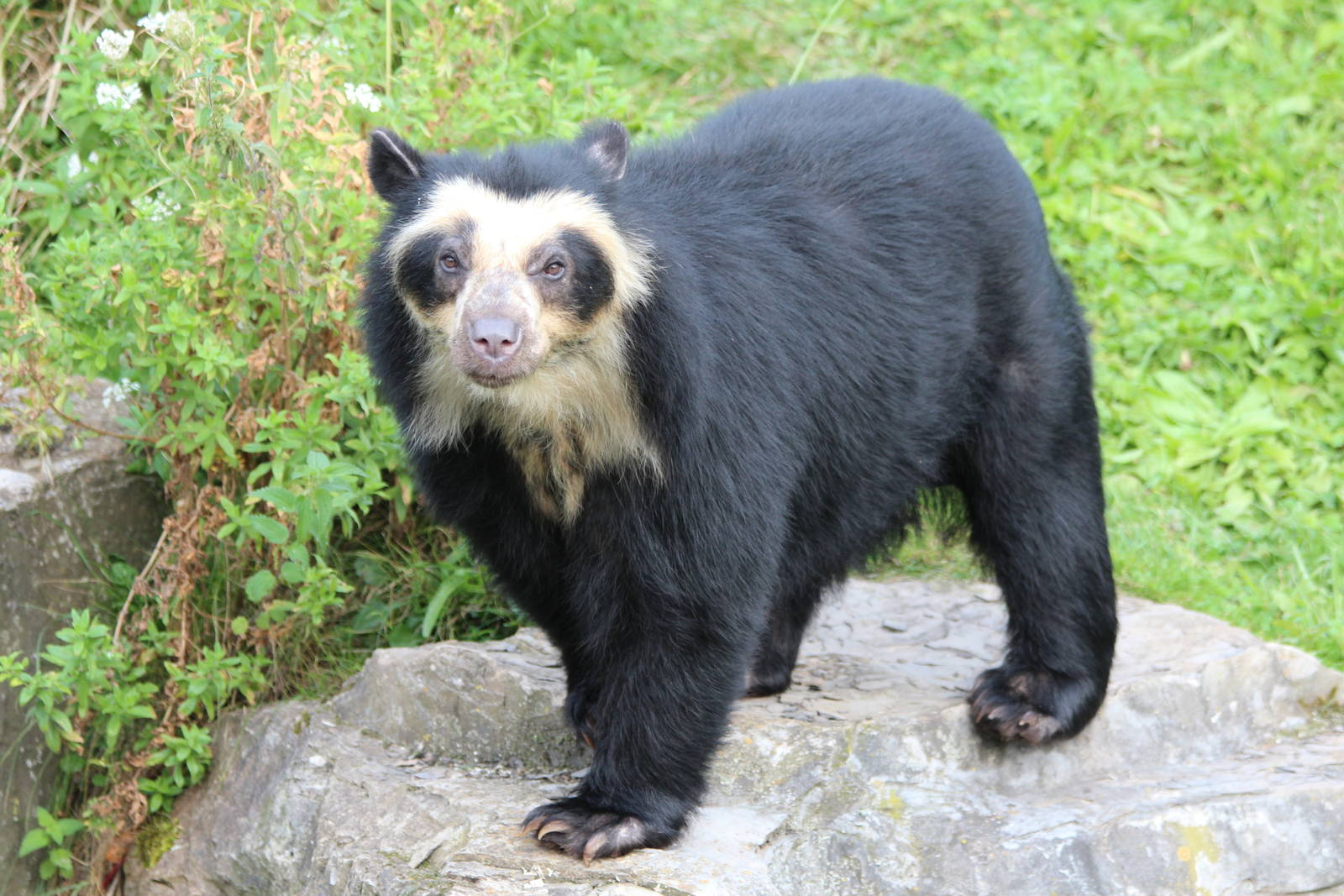 Nice wallpapers Spectacled Bear 1600x1067px