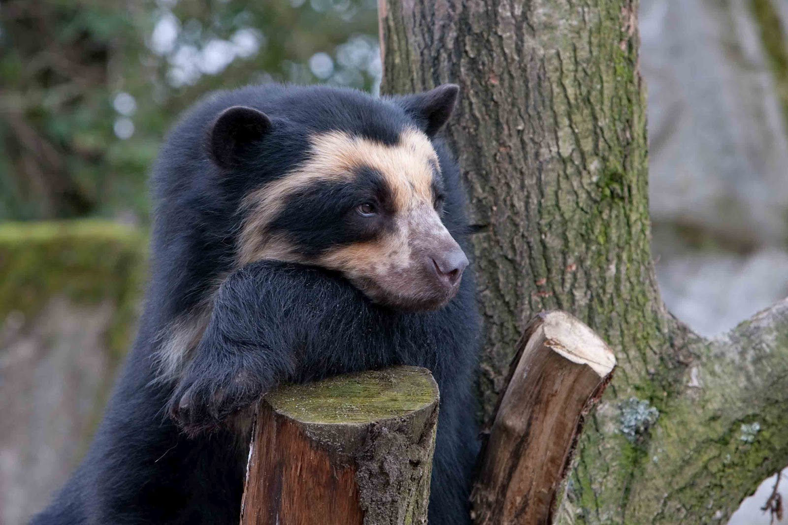 Nice Images Collection: Spectacled Bear Desktop Wallpapers