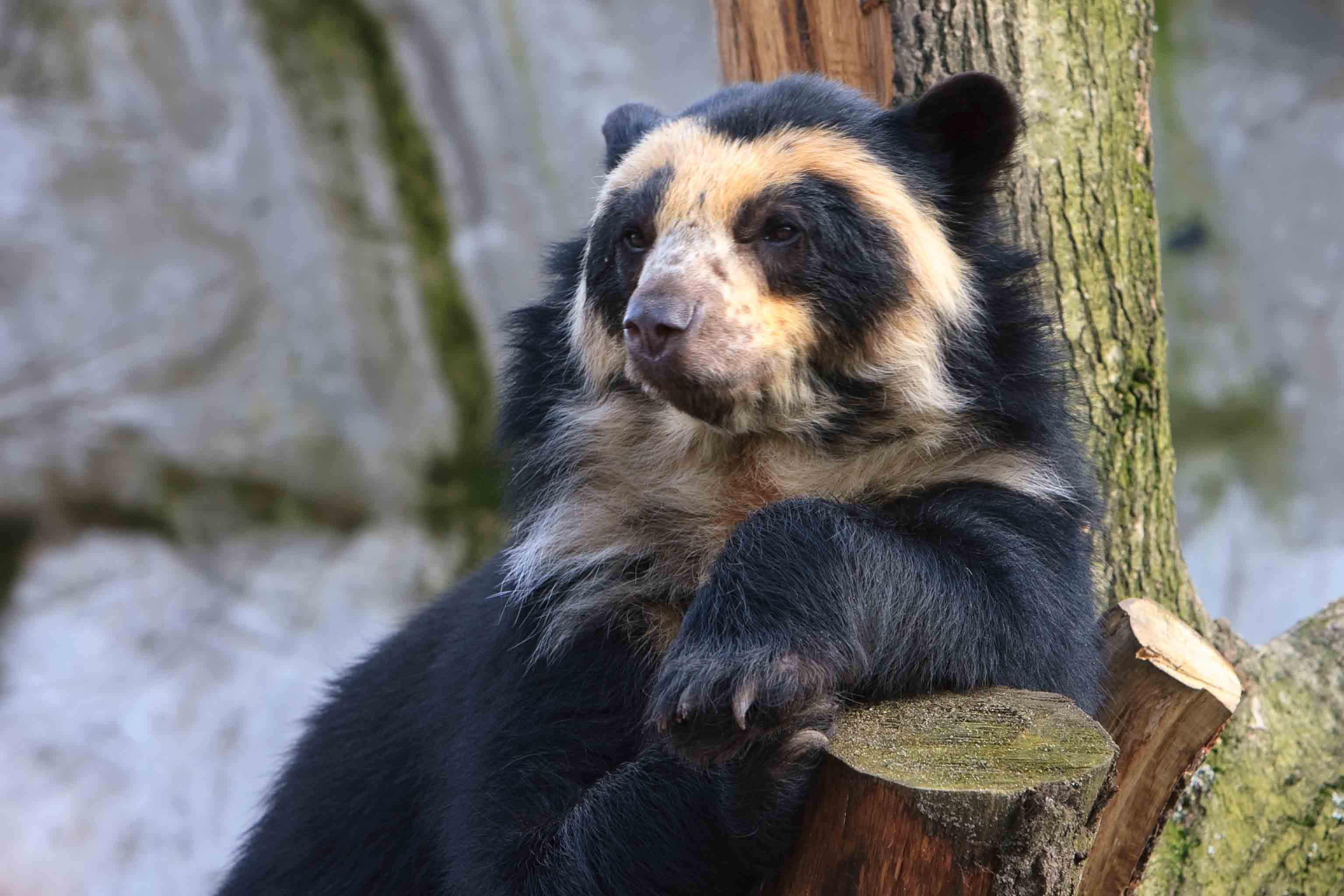 Spectacled Bear High Quality Background on Wallpapers Vista