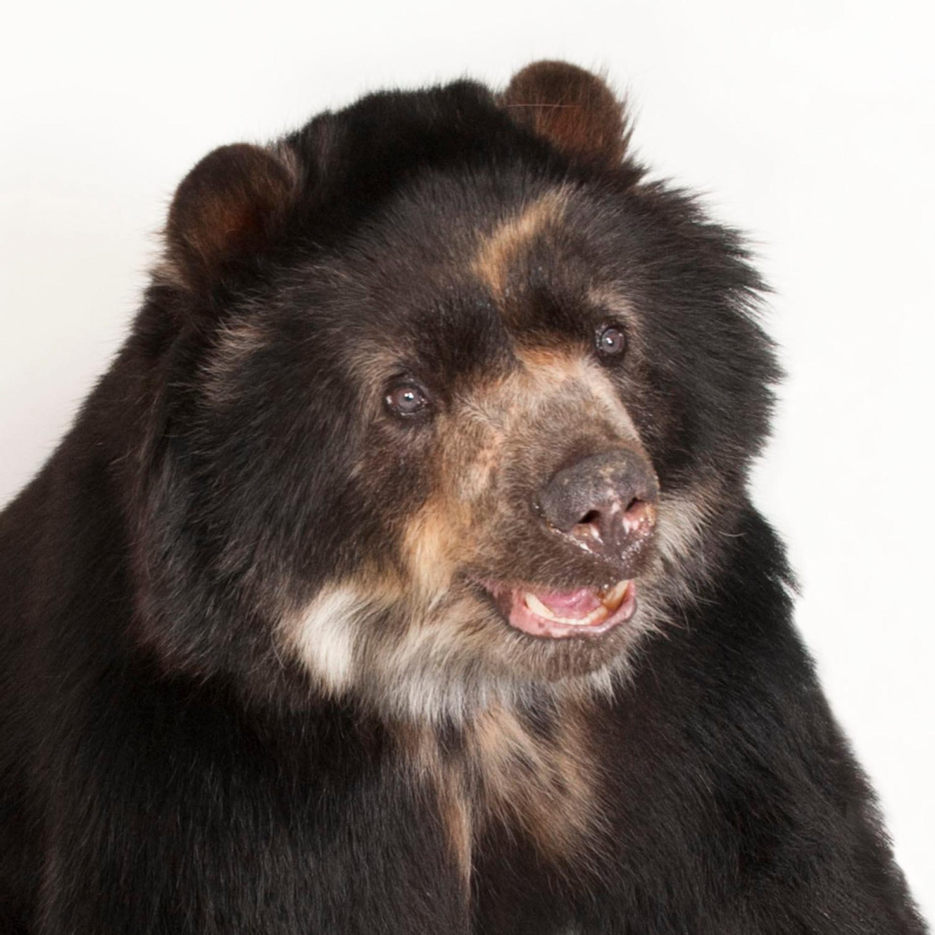 Nice wallpapers Spectacled Bear 1900x1900px