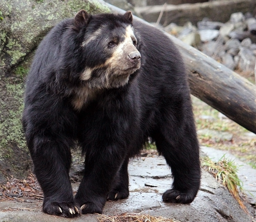 1024x888 > Spectacled Bear Wallpapers
