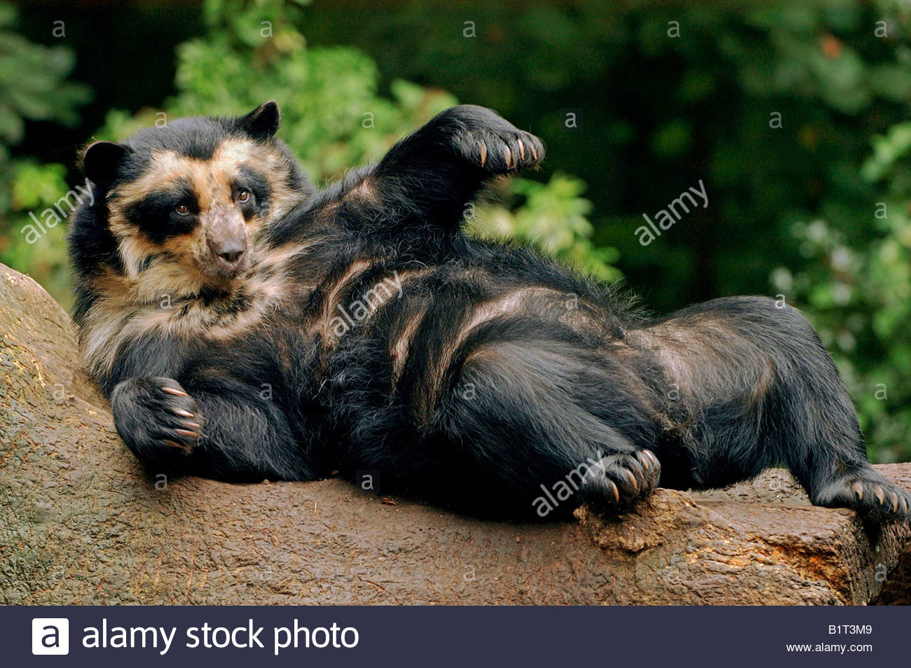 Most Viewed Spectacled Bear Wallpapers