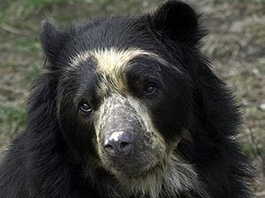 HQ Spectacled Bear Wallpapers | File 26.84Kb