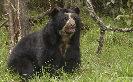 Spectacled Bear Backgrounds, Compatible - PC, Mobile, Gadgets  432x269 px