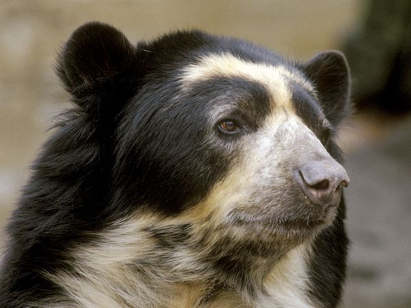 High Resolution Wallpaper | Spectacled Bear 600x450 px