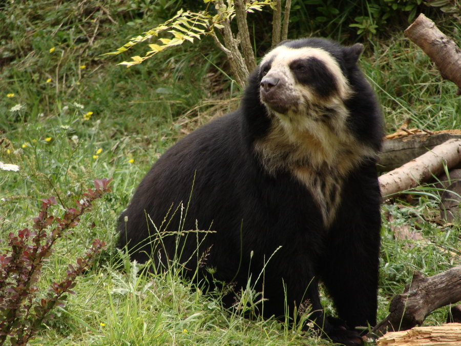 High Resolution Wallpaper | Spectacled Bear 900x675 px