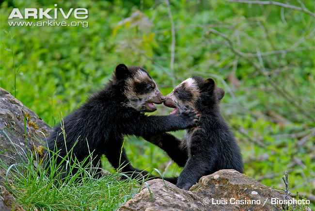 Images of Spectacled Bear   650x435
