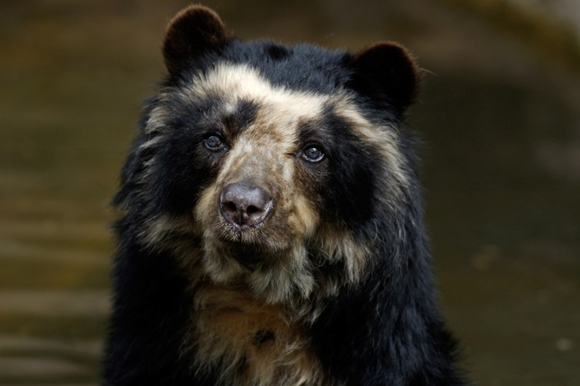 Nice wallpapers Spectacled Bear 820x545px