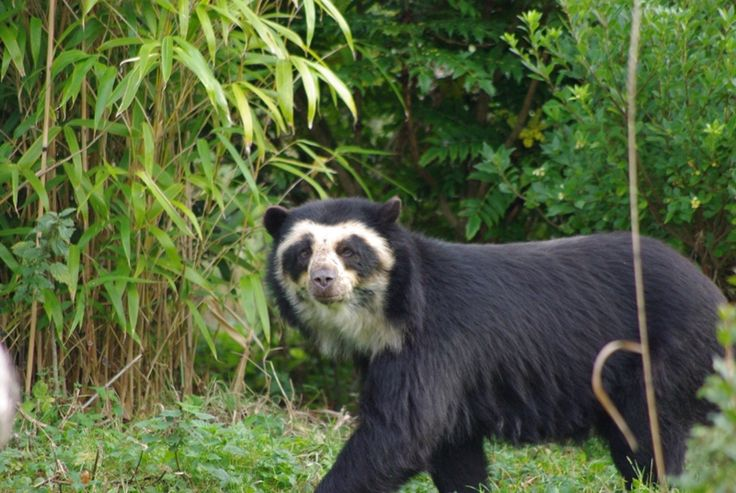 Nice wallpapers Spectacled Bear 736x493px
