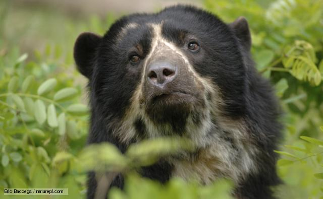 HQ Spectacled Bear Wallpapers | File 58.69Kb