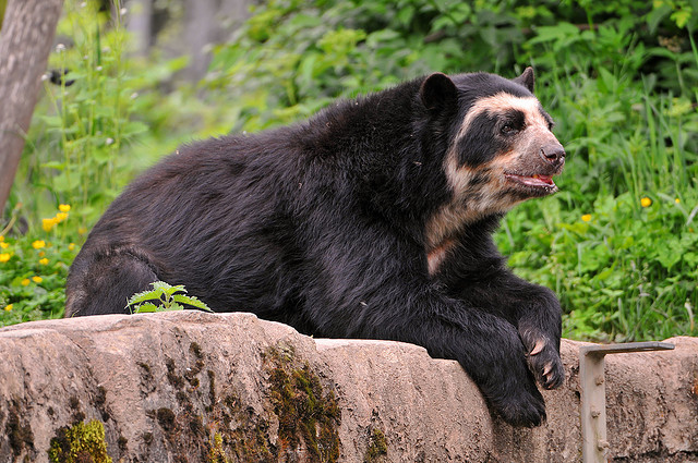 Spectacled Bear Backgrounds, Compatible - PC, Mobile, Gadgets| 640x425 px