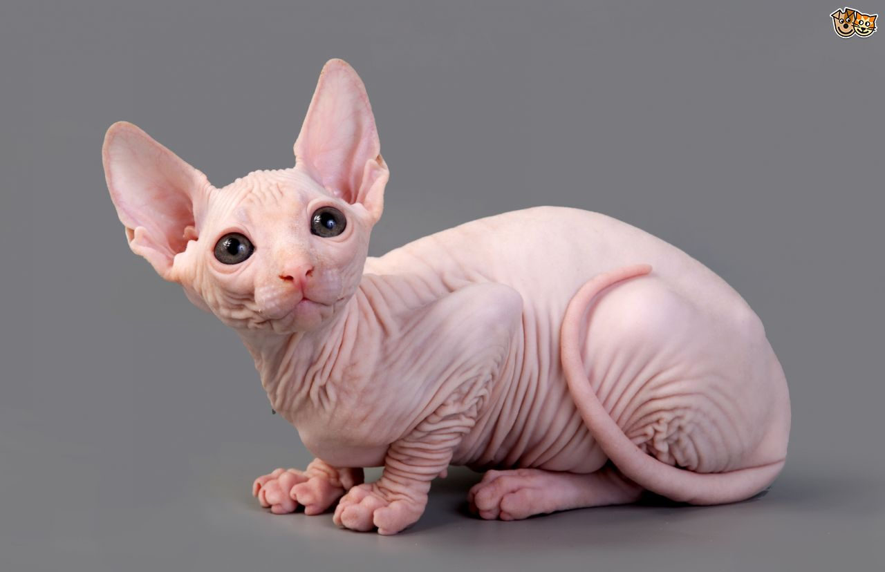 HD Quality Wallpaper | Collection: Animal, 1280x828 Sphynx Cat