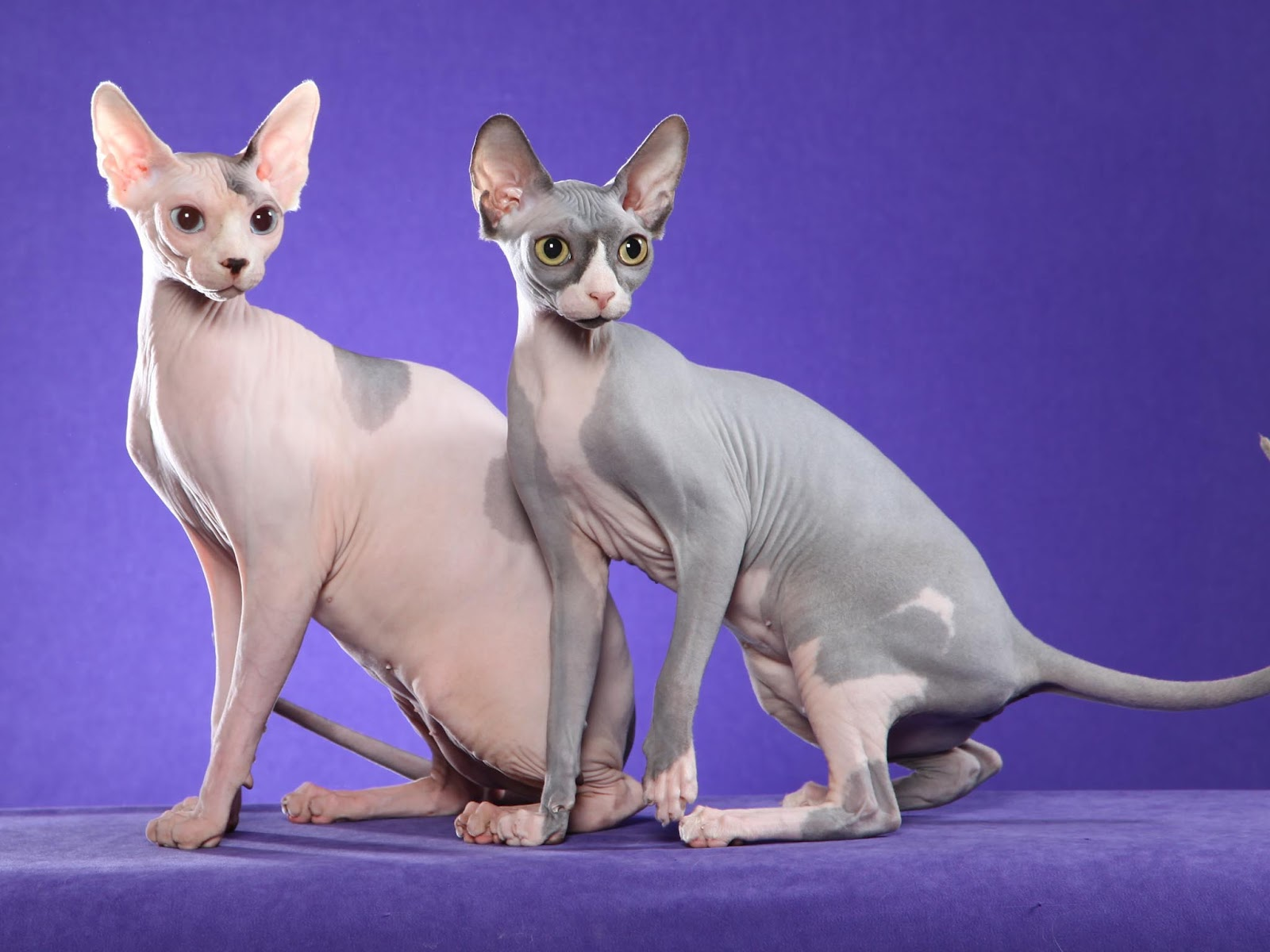 Nice wallpapers Sphynx Cat 1600x1200px