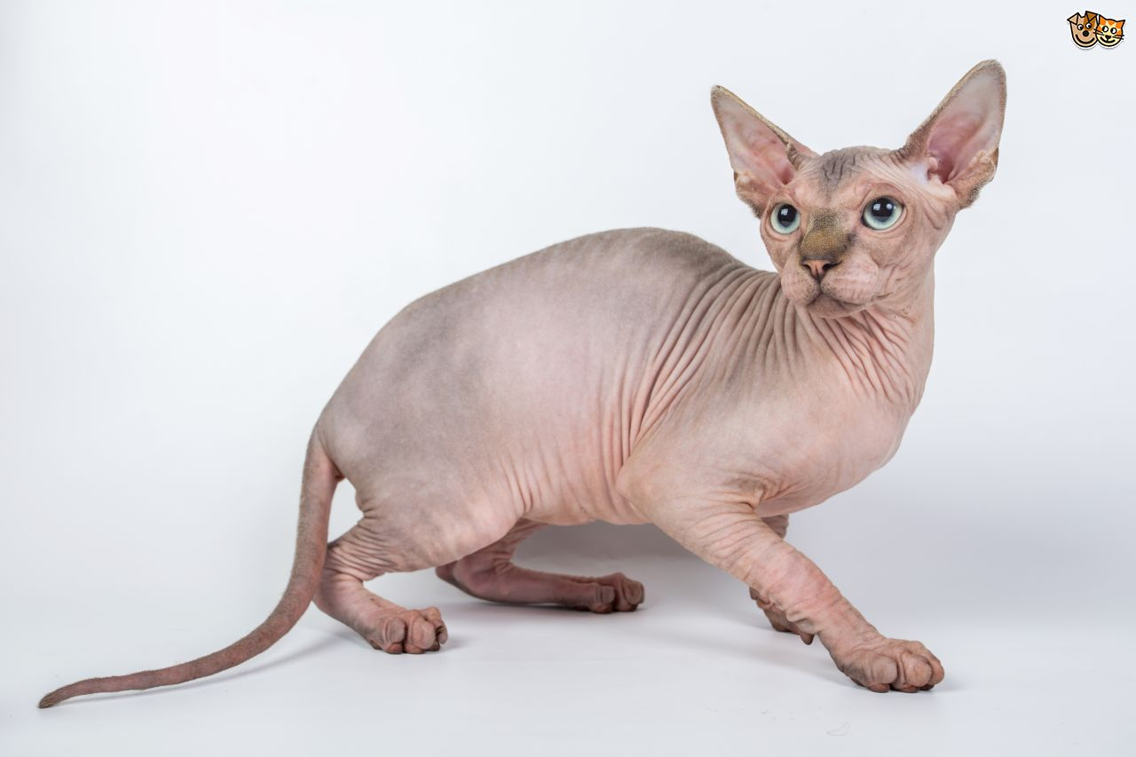 Sphynx Cat Backgrounds on Wallpapers Vista