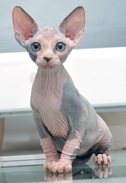 Sphynx Cat Pics, Animal Collection