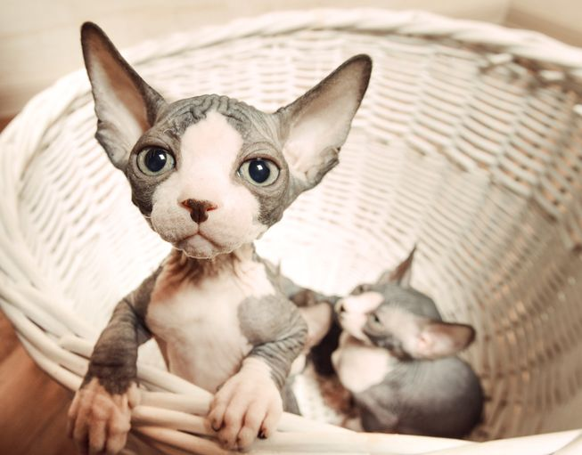 Amazing Sphynx Cat Pictures & Backgrounds