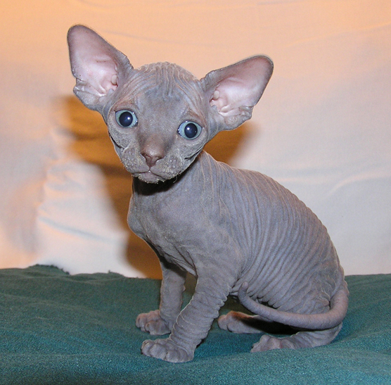 Images of Sphynx Cat | 556x547