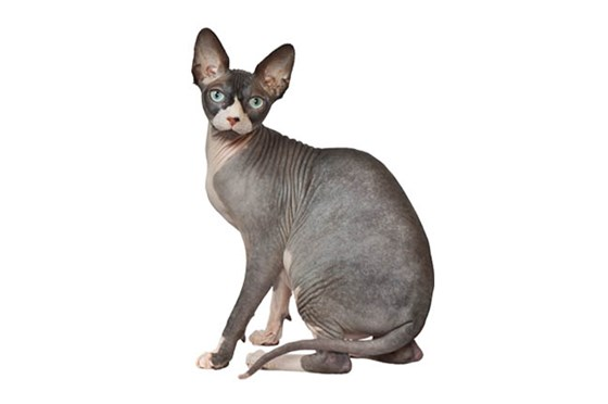 Nice wallpapers Sphynx Cat 560x372px