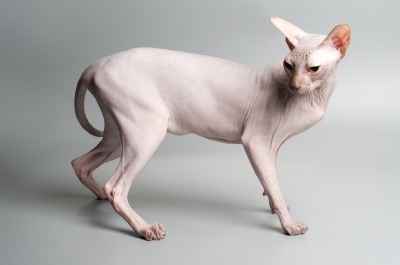 Images of Sphynx Cat | 400x265