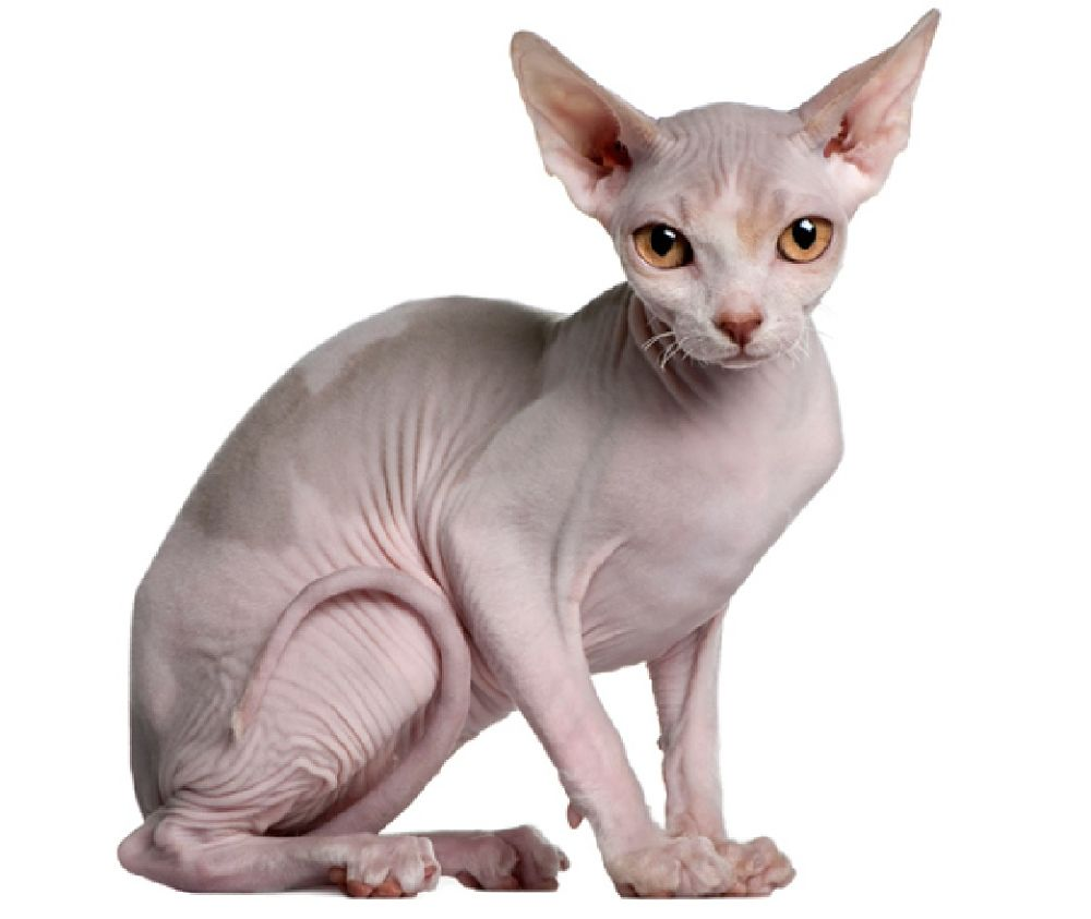 Images of Sphynx Cat | 1000x843
