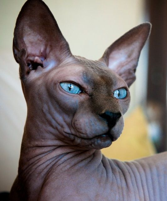 HD Quality Wallpaper | Collection: Animal, 532x642 Sphynx Cat