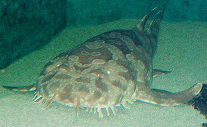 300x185 > Spotted Wobbegong Shark Wallpapers