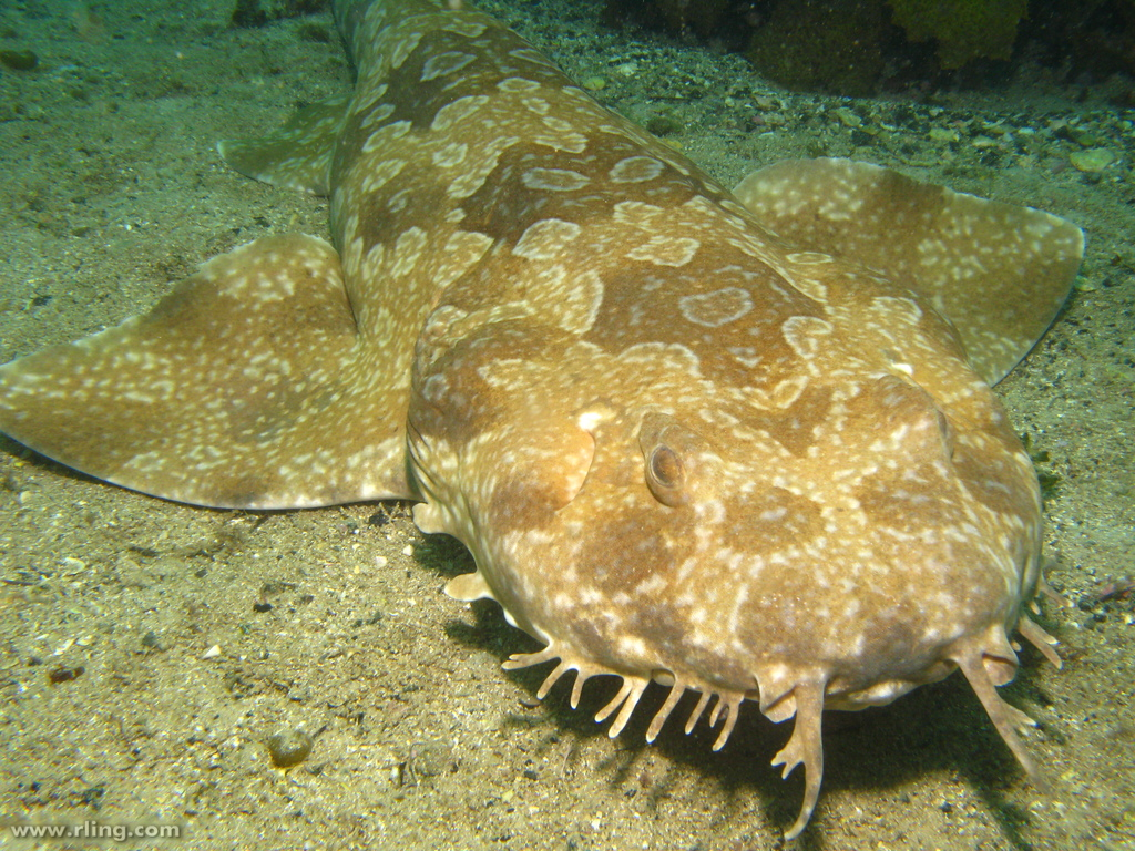 1024x768 > Spotted Wobbegong Shark Wallpapers
