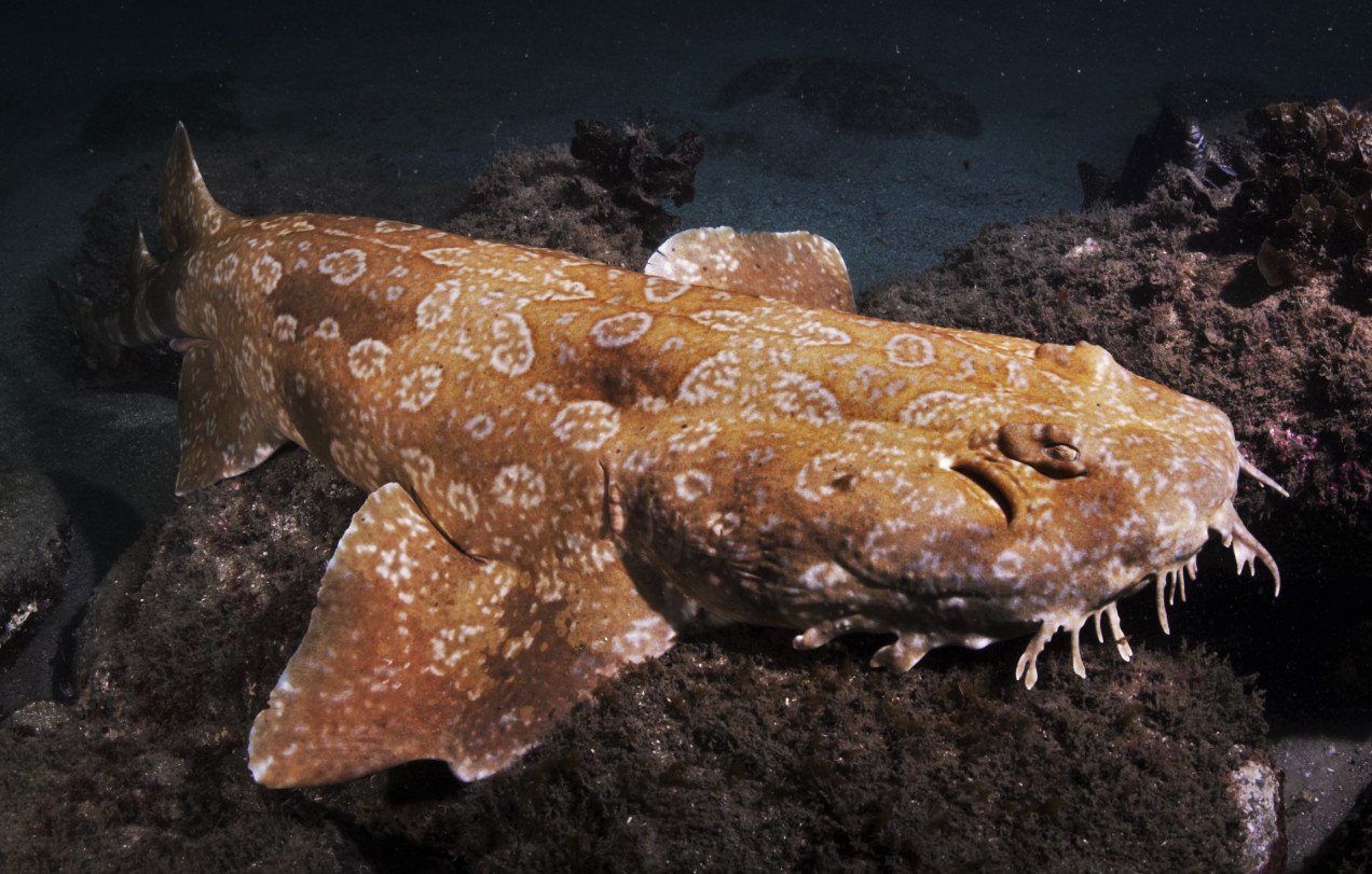 1272x811 > Spotted Wobbegong Shark Wallpapers