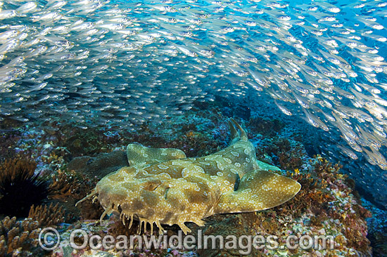 Amazing Spotted Wobbegong Shark Pictures & Backgrounds