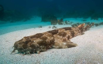 Nice wallpapers Spotted Wobbegong Shark 350x219px