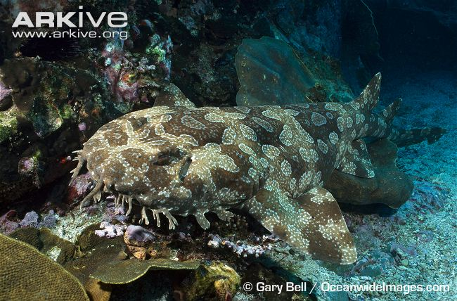 Spotted Wobbegong Shark Backgrounds, Compatible - PC, Mobile, Gadgets| 650x428 px