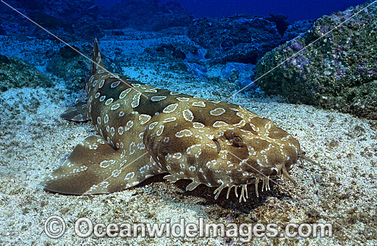Spotted Wobbegong Shark High Quality Background on Wallpapers Vista