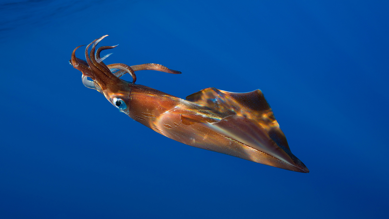 HD Quality Wallpaper | Collection: Animal, 1600x900 Squid
